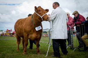 cattle at Camelford Show